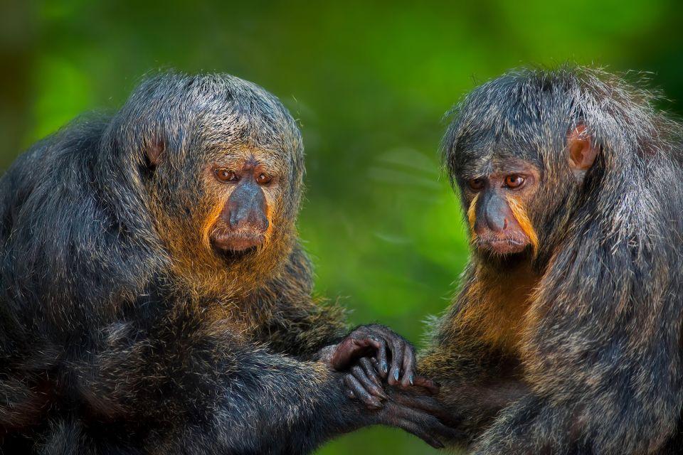 amerique, sud, surinam, amerique latine, singe, primate, mammifère, animal, faune