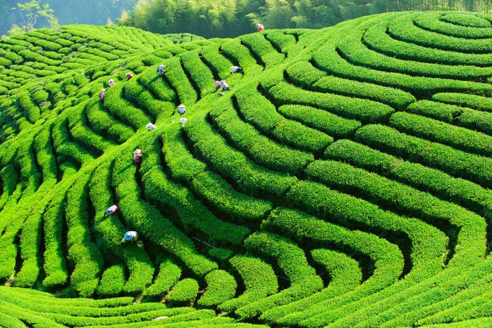 Nantou, Taiwan, Bagua Tea Garden, taiwan, asie, plage, hualien, mer, chine, thé, agriculture