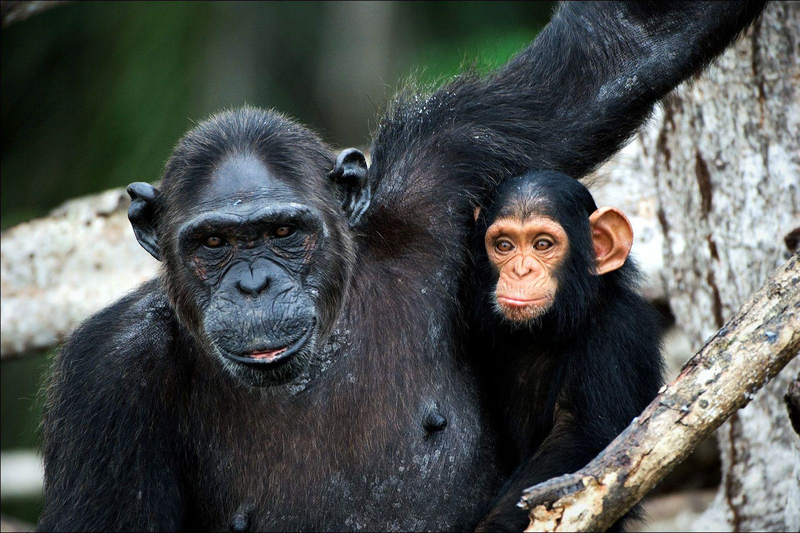 Afrique, chimpanzé, mère, bébé, mangrove