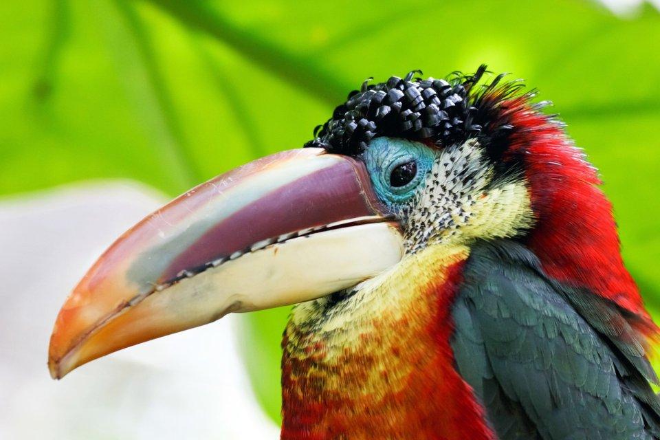 Belize, L'Araçari de Beauharnais