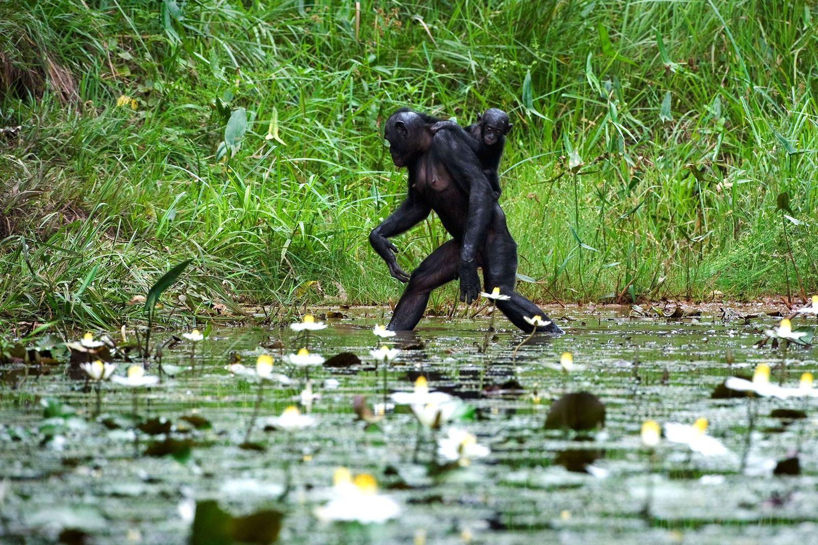 afrique, république, démocratique, congo, chimpanzé, mammifère, bébé, faune, flore