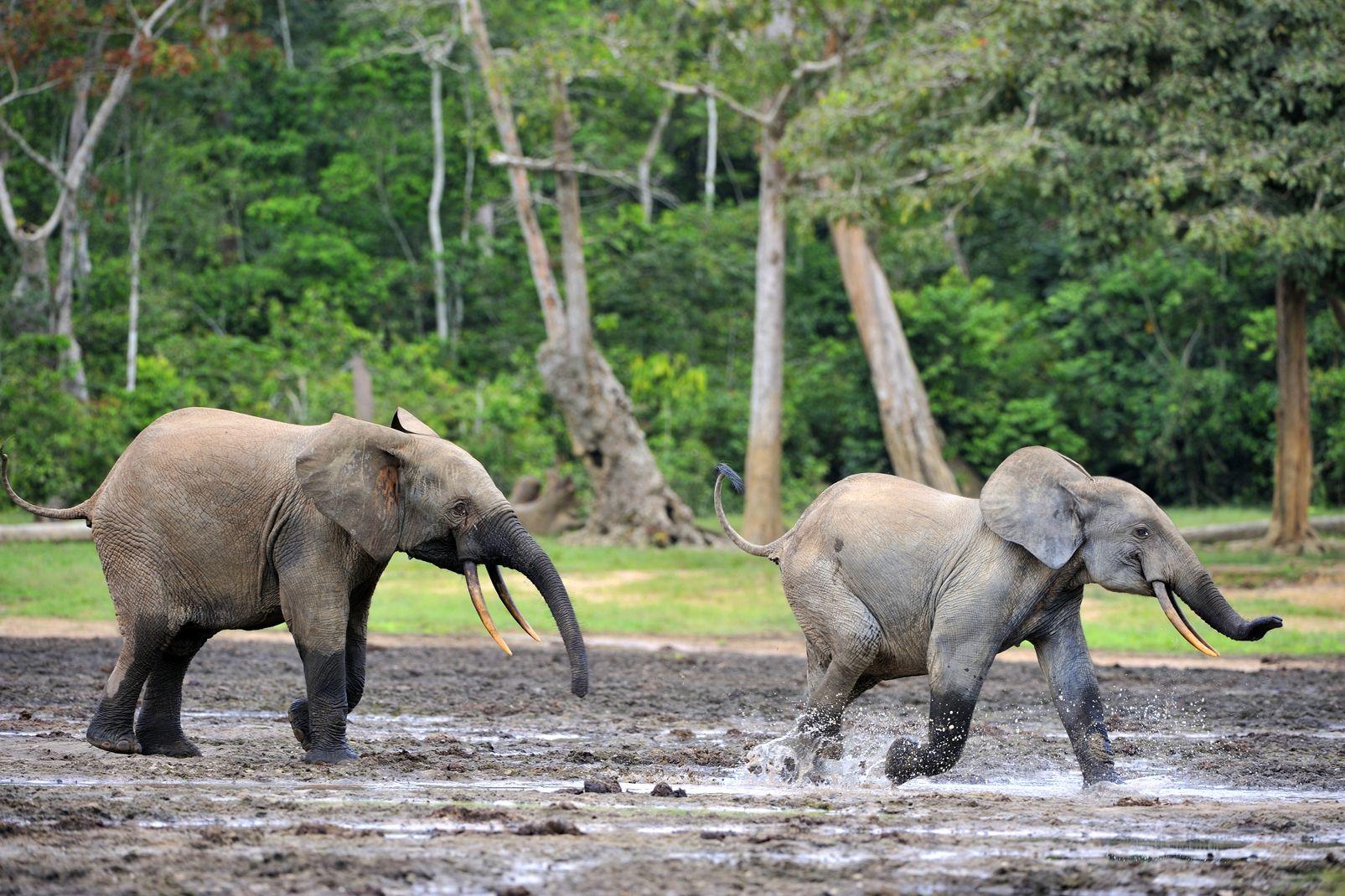 afrique, republique, centrafricaine, éléphant, forêt, bébé; mammifère
