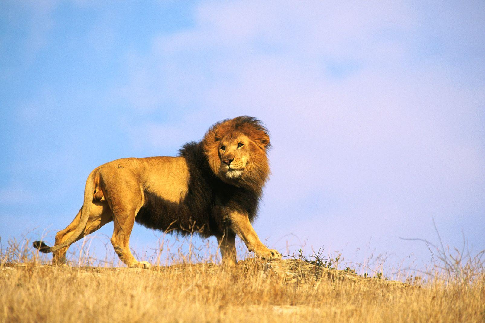 afrique, republique, centrafricaine, lion; faune; sauvage; animal