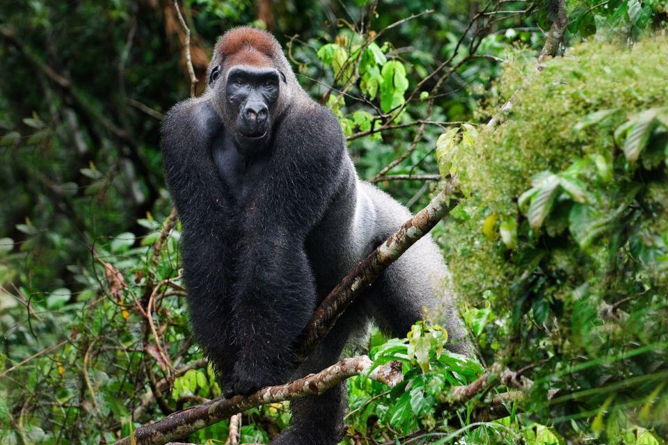 Afrique, gorille, fôret; mammifère; singe; nature