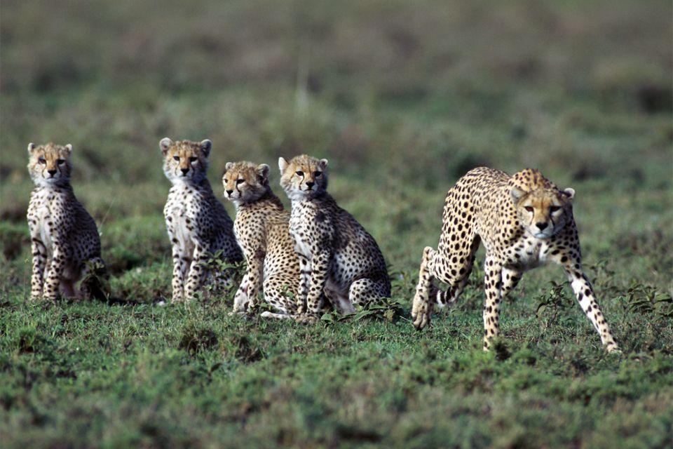 Afrique, guépard, bébé, nature; faune, animal