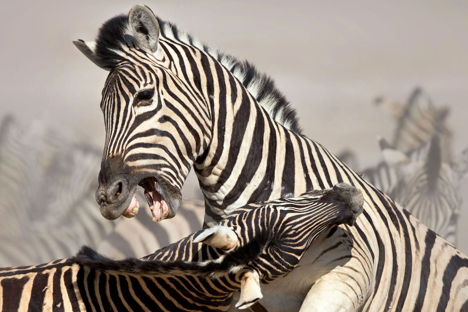 Afrique, zèbre, combat; mammifère; faune