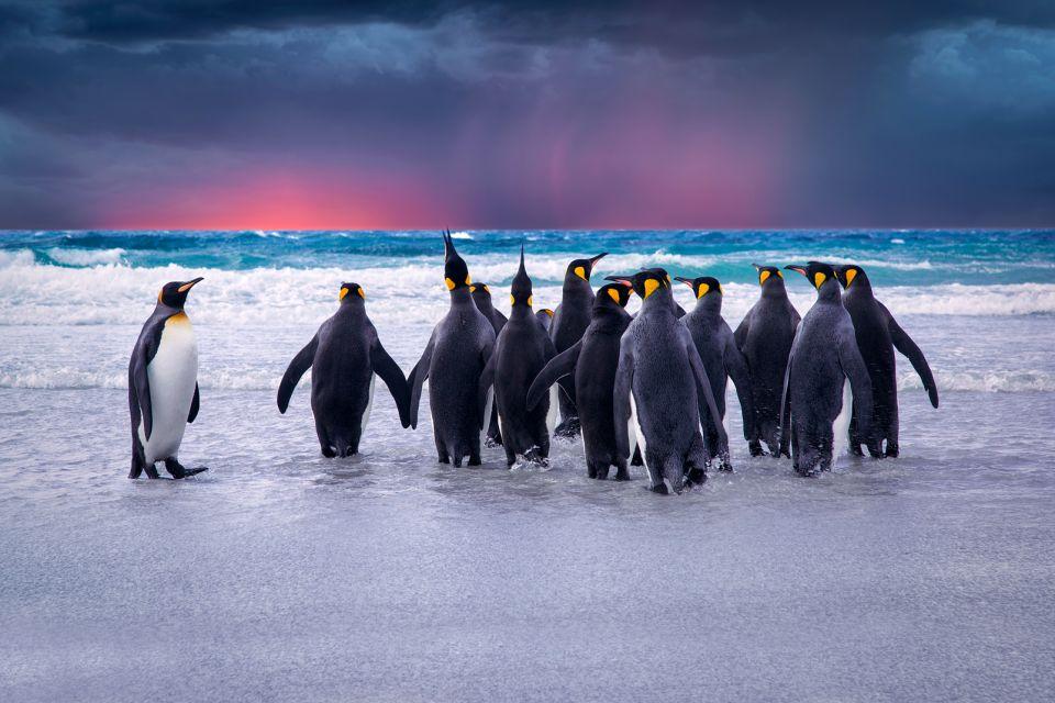 Amérique, Sud, Malouines, îles, manchot: ocean antarctique, animal, oiseau, faune, Saunders, Falkland, île