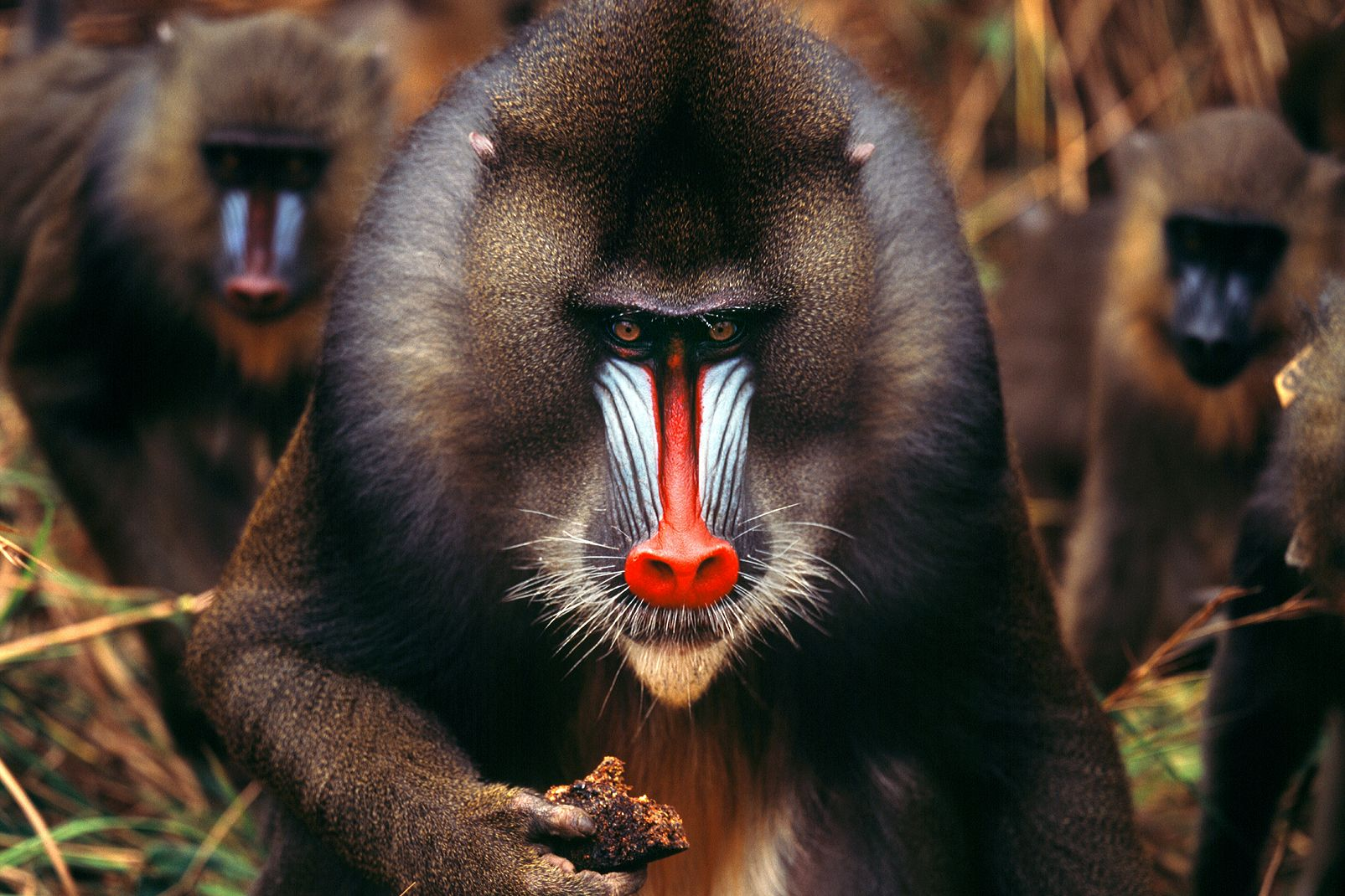 Afrique, gabon, animal, faune, primate, singe, mammifère, mandrill; mammifère