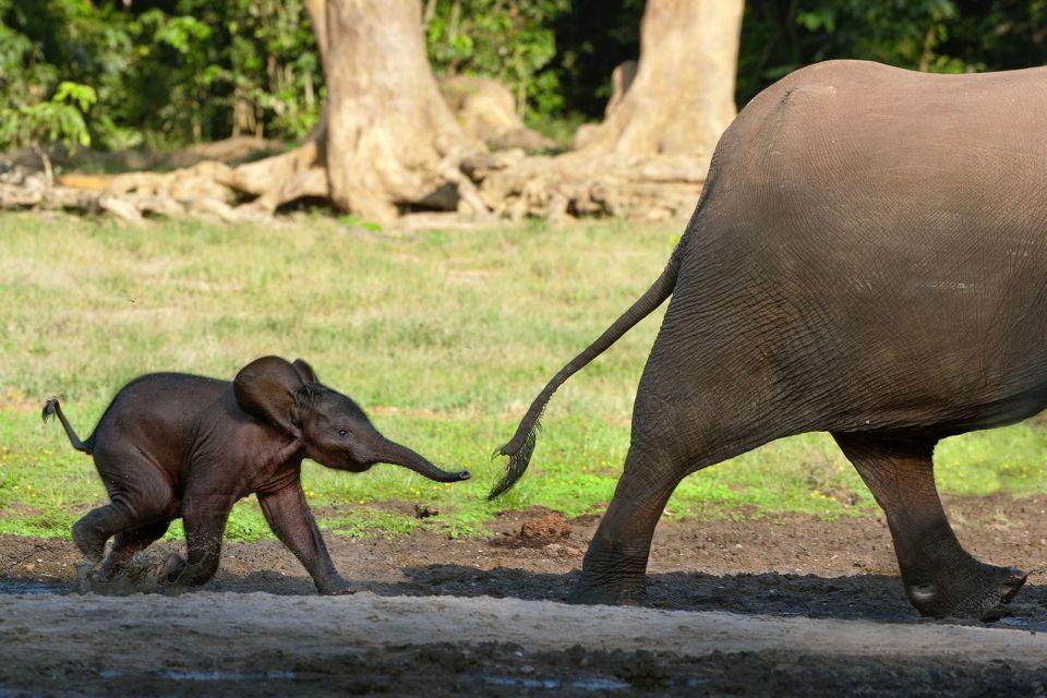 Afrique, elephant, elephanteau, forêt
