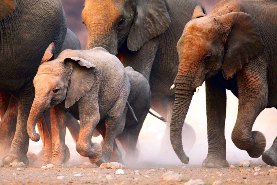 afrique, guinee, bissau, désert, Etosha, éléphant, éléphanteau