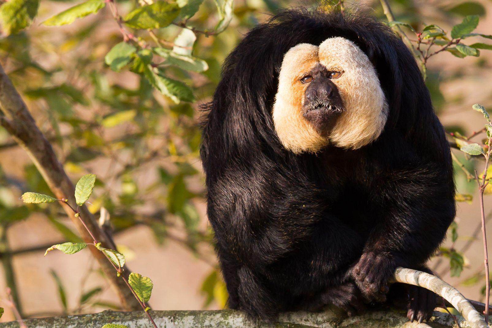 Amérique, guyana, sud, forêt, jungle, saki, singe, primate, animal, faune, mammifère