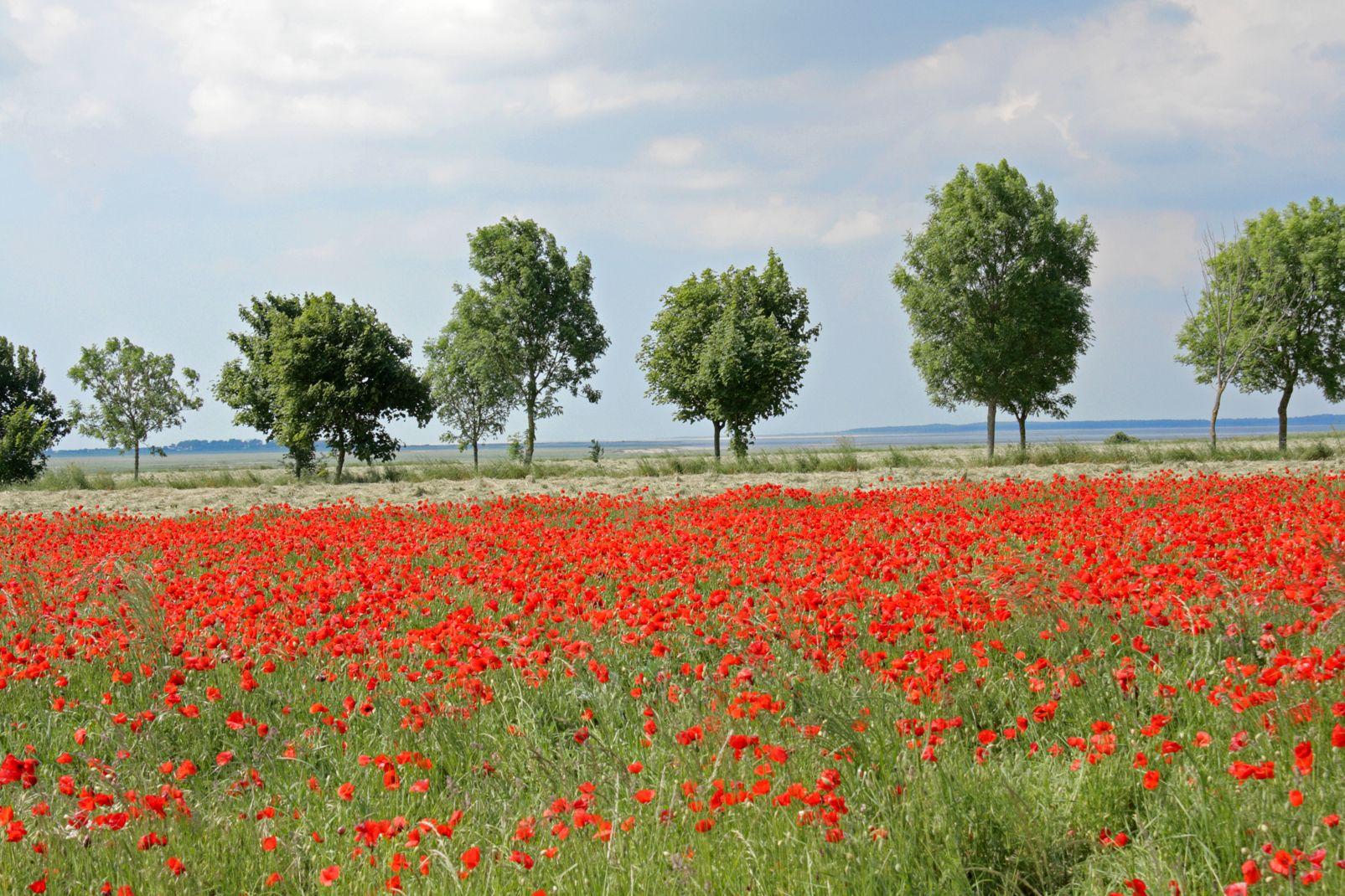 picardie, france, europe, somme, pré, champ, coquelicot, rouge, flore, fleur, arbre