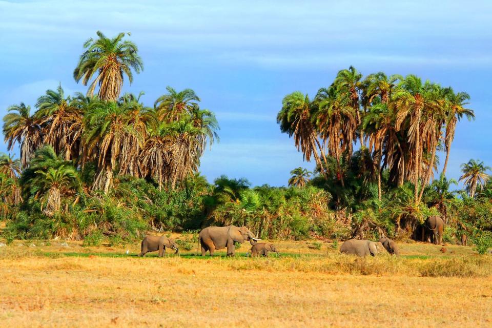 Afrique, Kenya, savane, éléphant, arbre,