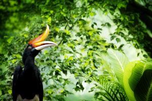 Asie, Malaisie, Bornéo, forêt, tropicale, calao rhinocéros, bucérotidé, bucerotidae,