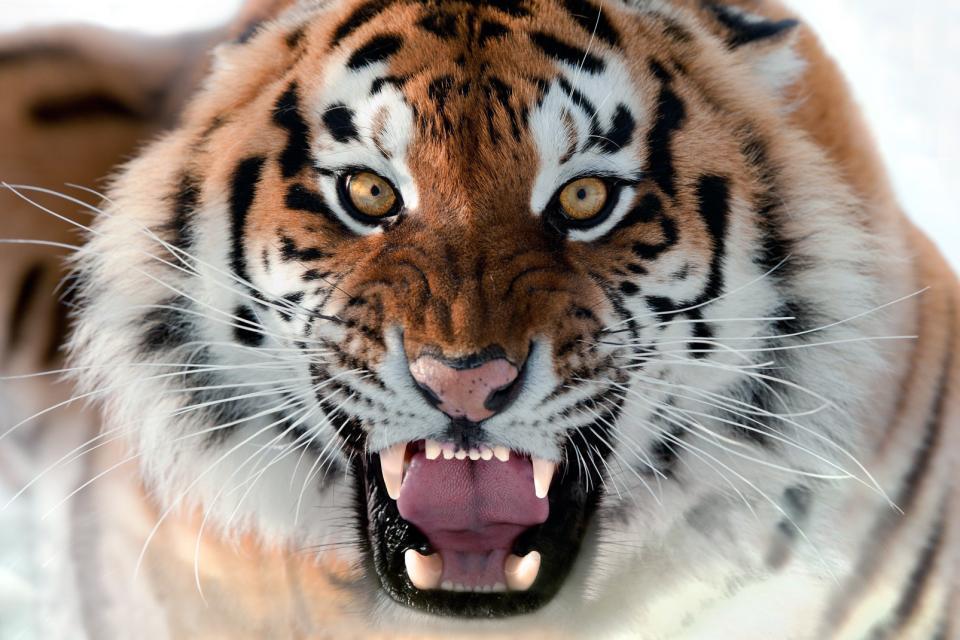 Asie, Bangladesh, tigre,