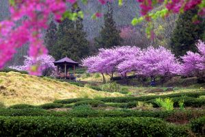 Asie, Taïwan, jardin, cerisier, arbre, jardin,