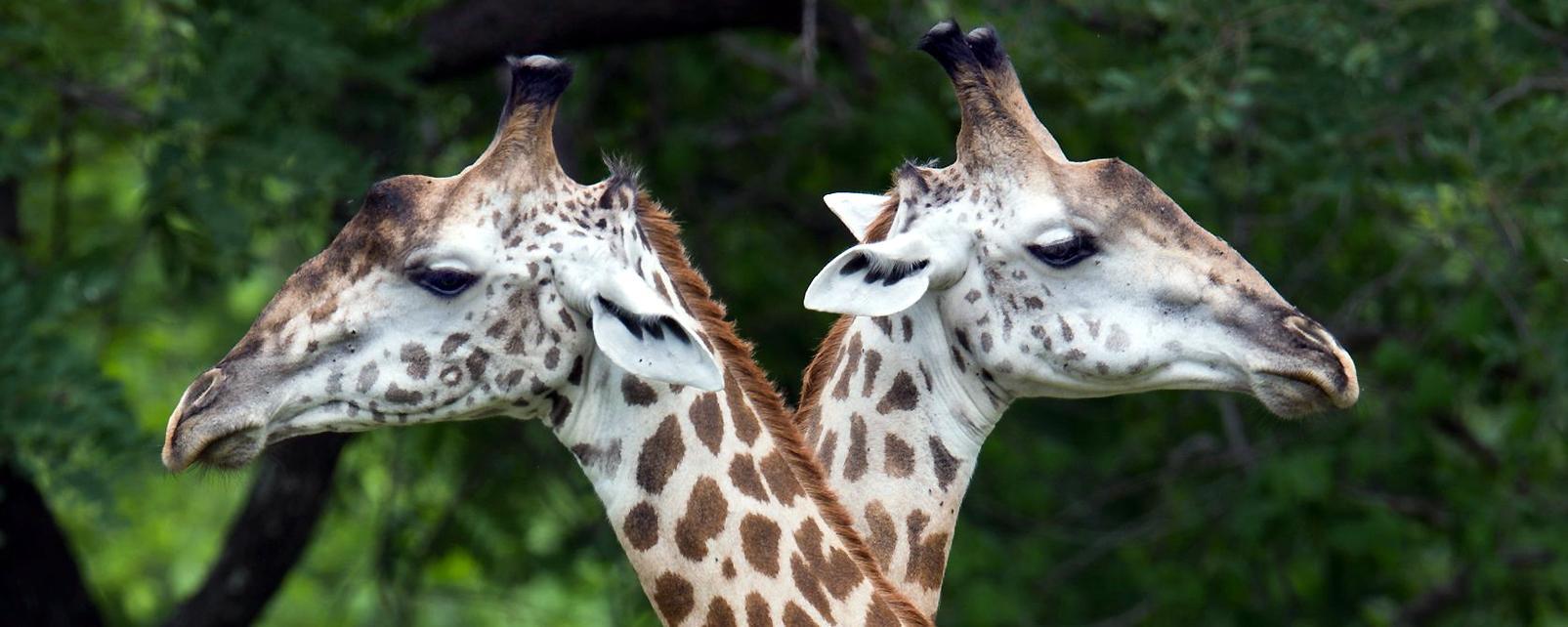 Afrique, Tanzanie, girafe, savane, arbre,