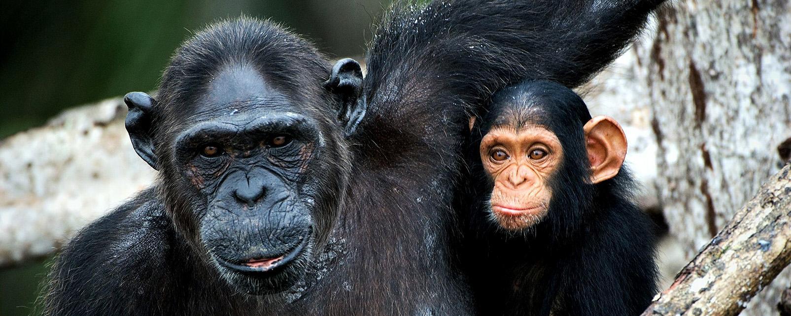 Afrique, Burundi, chimpanzé, primate, mangrove,