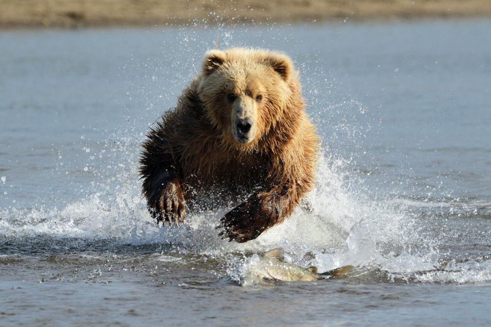 Amérique, Amérique du Nord, Alaska, etats-unis, USA, amérique, amérique du nord, ours, mammifère, animal, faune, rivière, nature,