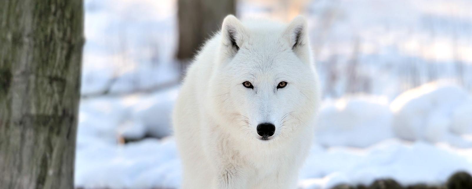 Amérique, Amérique du Nord, Canada, Saskatchewan, loup, mammifère, faune, animal