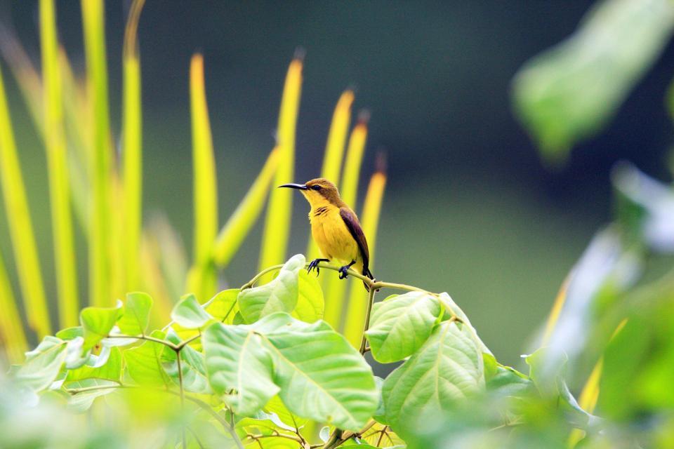 Asie, Indonésie, Halmahera, Sunbird Cinnyris, oiseau,