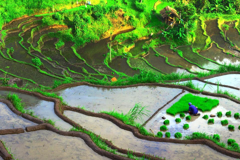 Asie, Indonésie, Bali, rizière, riz, plantation, colline,