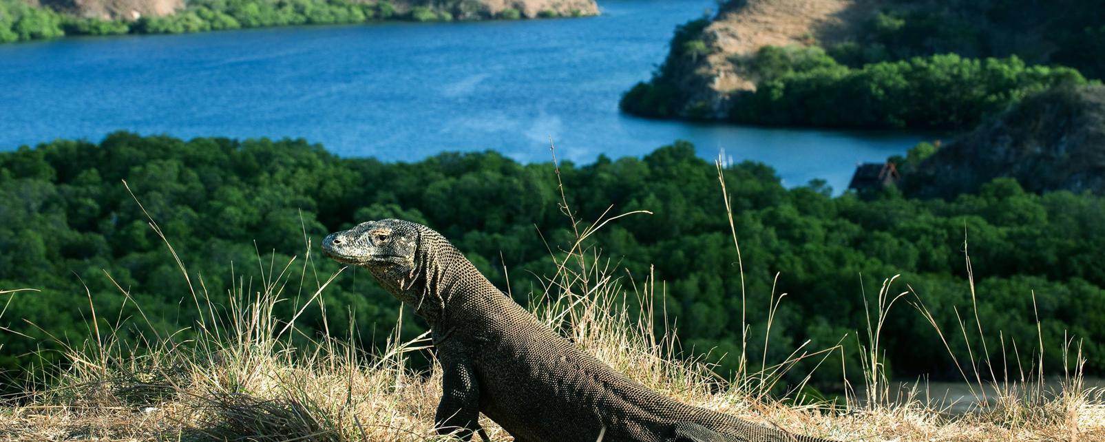 Asie, Indonésie, Le Timor, Rinca, île, dragon Komodo,