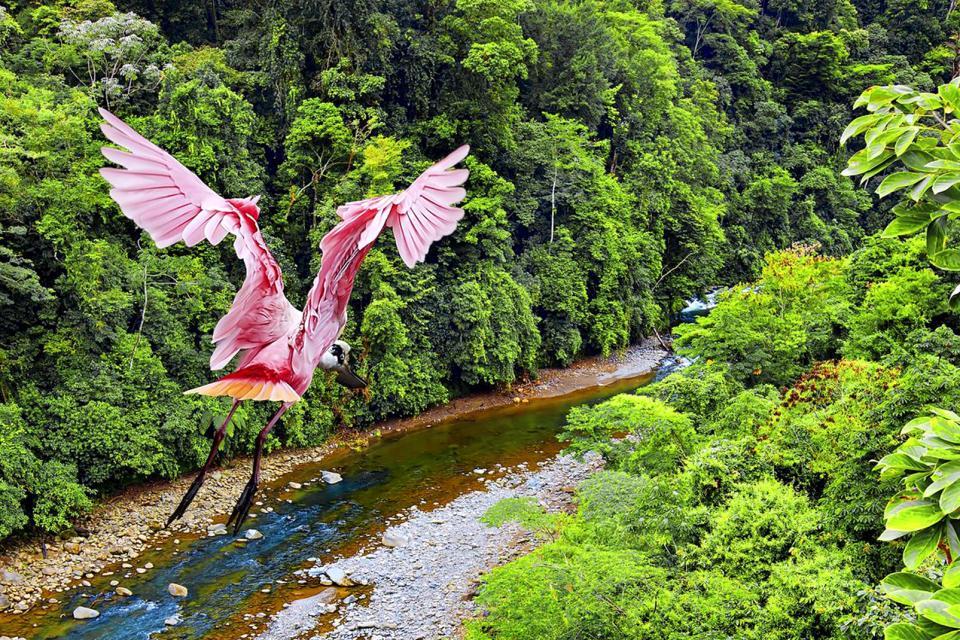 Amérique, Amérique du Sud, Costa Rica, spatule rosée, jungle,