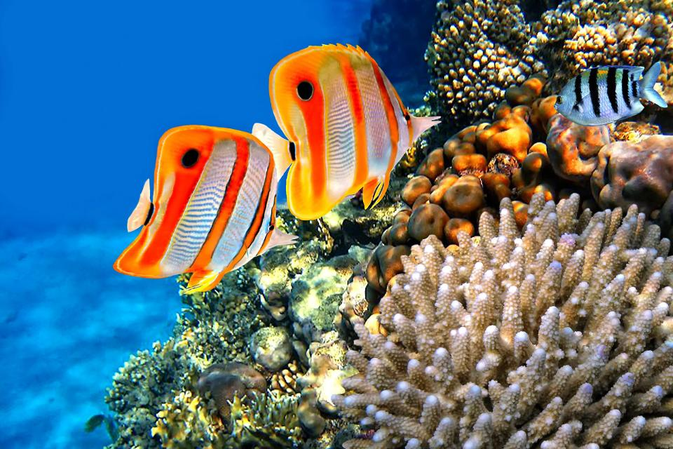 Afrique, Djibouti, poisson, récif, corail, copperband papillon, chelmon rostratus,