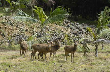 Der Hirsch von Java auf Mauritius