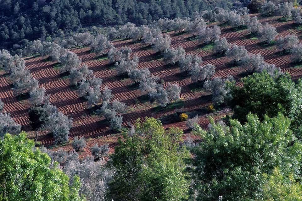 Nella catena di montagne della Sierra Morena nel sud della Spagna, possono essere coltivati soltanto gli uliveti, resistenti come le radici delle viti.