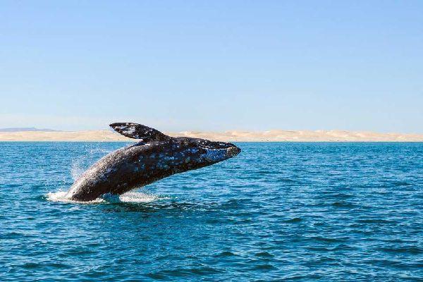 Guerrero Negro est un village de sable, de poussière et de sel qui vit de ses salines parmi les plus productives du monde. Elle semble endormie les 3/4 de l'année, mais se réveille soudainement entre novembre et mars avec l'afflux des touristes venus voir les baleines grises....