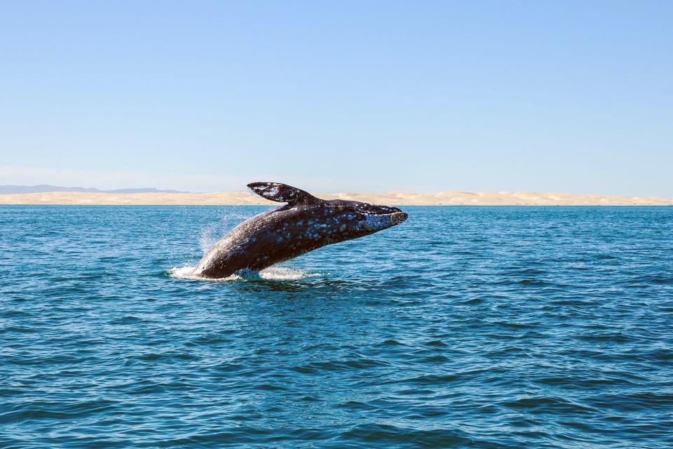 Un paraíso para las ballenas grises