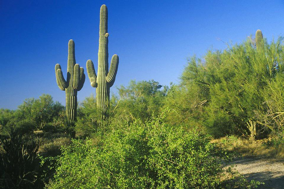 The Saguaro cactus is native to Arizona's Sonoran Desert