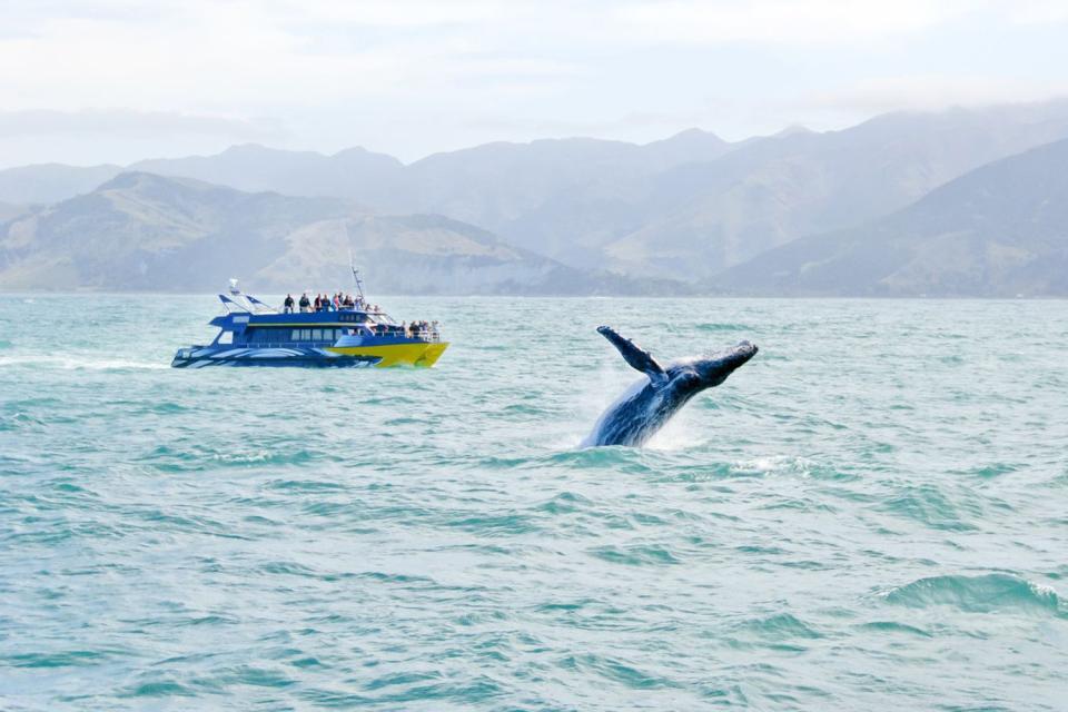 Kaikoura è uno dei gioielli della costa orientale della Nuova Zelanda. Sperduta tra picchi innevati e le coste del Pacifico, la città è diventata uno dei luoghi per eccellenza per l'osservazione dei cetacei, foche e albatros.All'origine si trattava di un piccolo villaggio, che fungeva da domicilio per i pescatori di gamberi d'acqua dolce prima che gli Europei dessero il via all'industria della caccia ...
