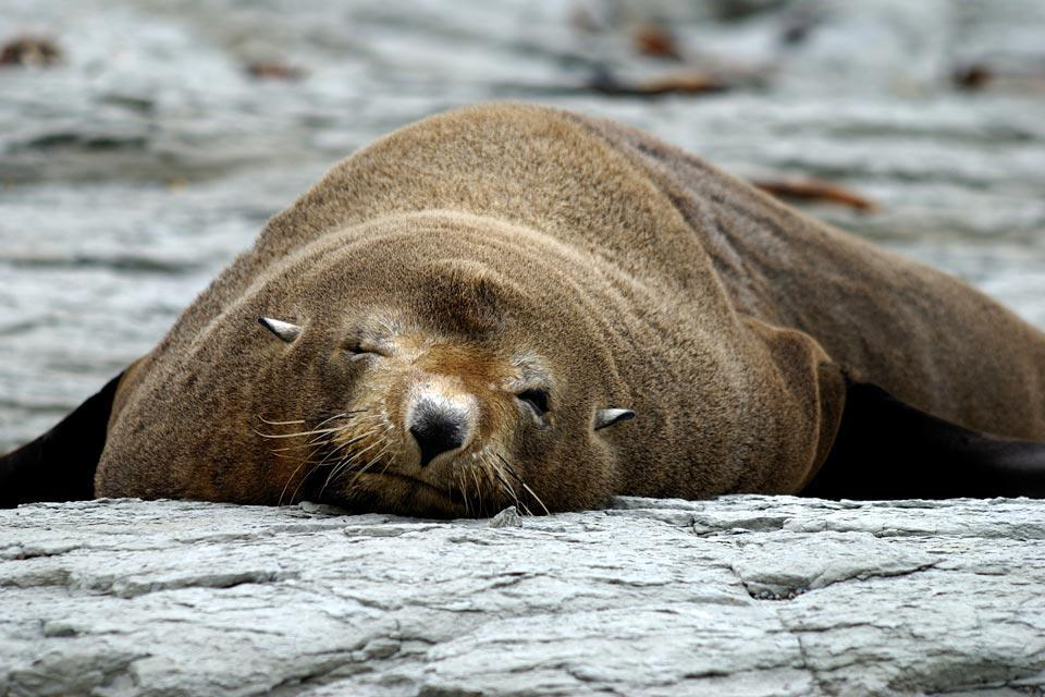 This fur seal is relaxing on a rock.