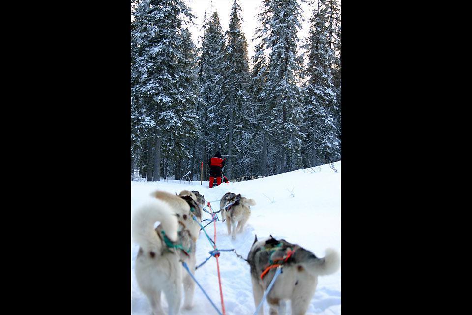 Il est possible de rejoindre le célèbre hôtel de glace de Kemi, le château de glace, en chiens de traîneaux. Une randonnée inoubliable.