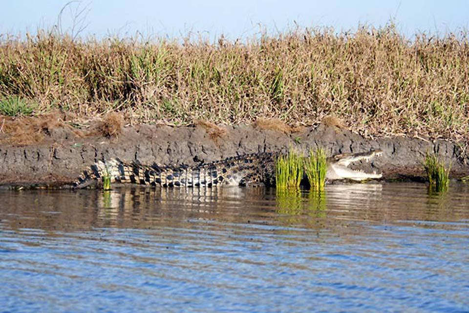 Le crocodile est l'une espèces les plus dangereuses pour l'homme. Il est très présent en Afrique du Sud.