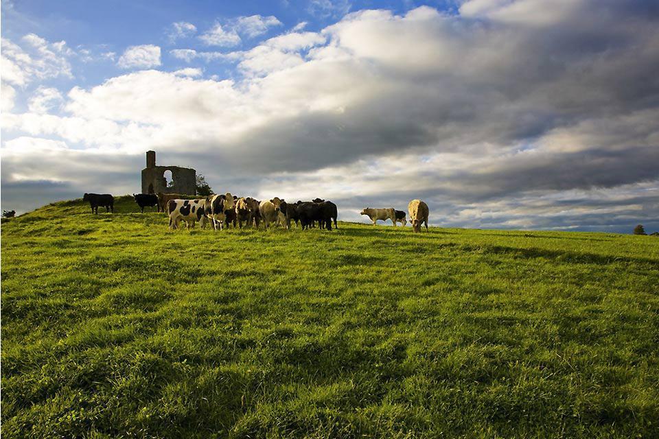 Anche vicino alla città, le mucche pascolano in tranquillità nei prati verdissimi