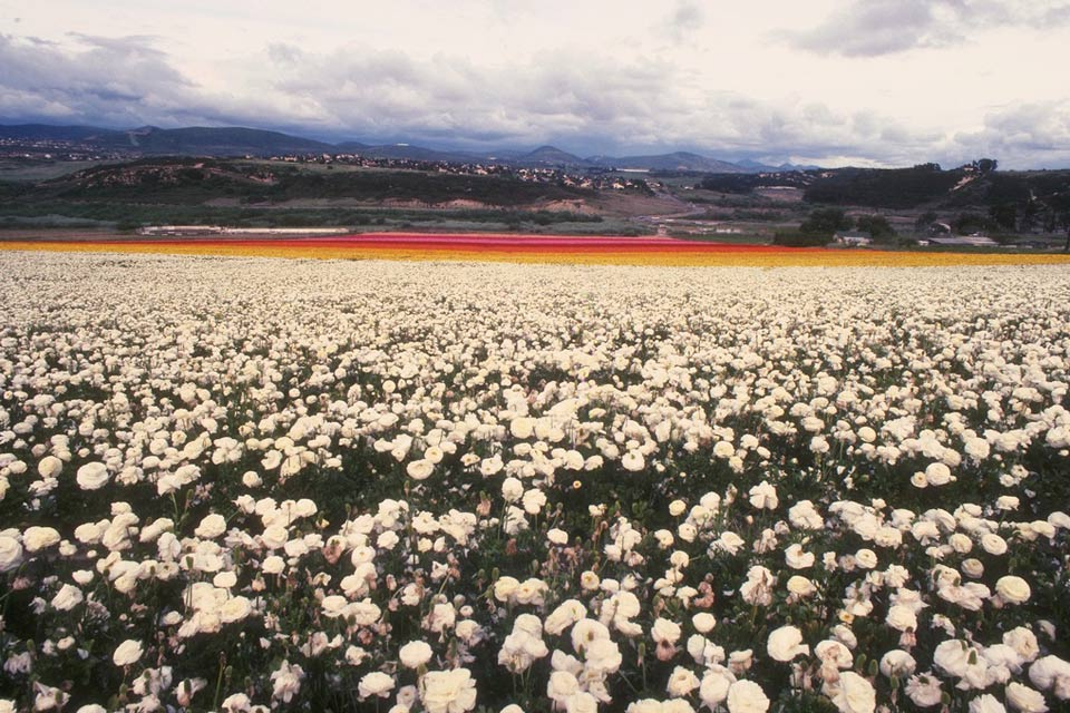 You can see magnificent expanses of white poppies near Karlovy Vary.