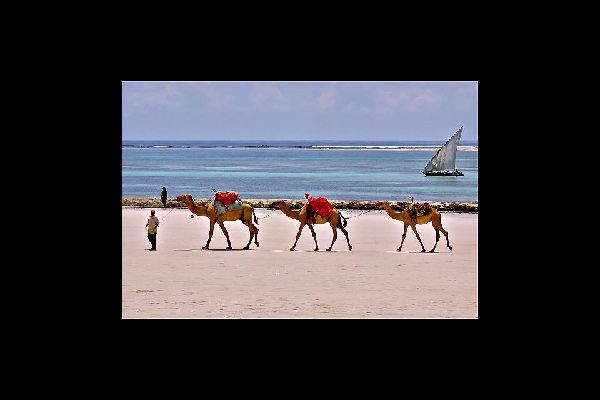 Camel rides are a popular tourist activity on the beaches of Mombasa.