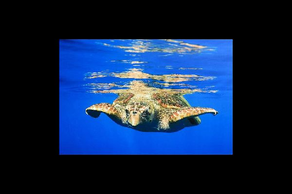 The TAMAR Project is an eco-museum allowing visitors to observe sea turtles and sharks developing in large outdoor tanks. Its aim is to help preserve several endangered species
