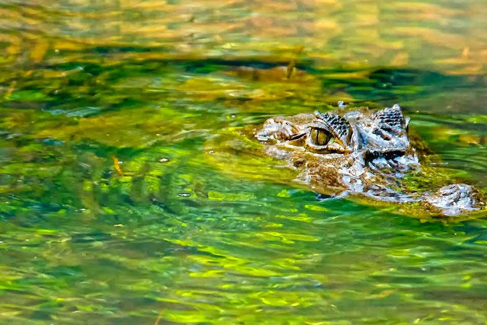 Sur la côte Caraïbe au nord-est du Costa-Rica, le parc national de Tortuguero rayonnant sur 19 000 ha est souvent l'occasion d'un court séjour de 3 jours et 2 nuits tant le spectacle de la faune et la flore est exceptionnelle. La luxuriance de cette région sillonnée de tout part par de multiples canaux, rivières et marécages s'explique par l'une des plus abondantes pluviométries au monde (plus de 5000 ...