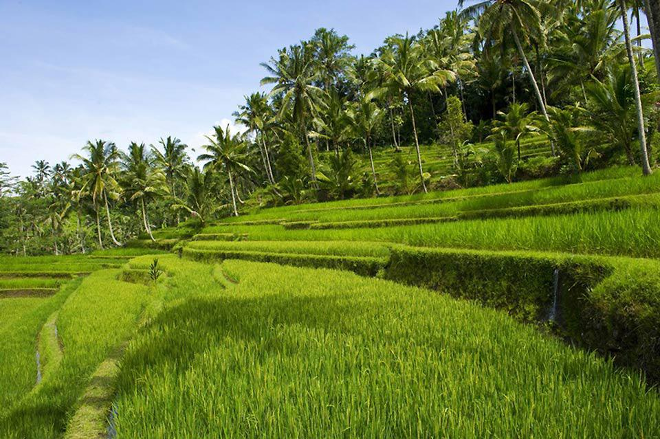 Ubud is located in the superb countryside where rice terraces make up the landscape.