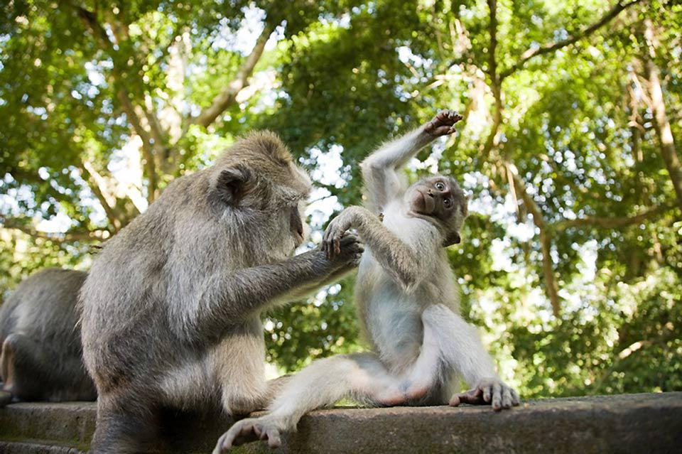 South of Ubud you will find a sacred forest full of macaques, which are dangerous little thieves.