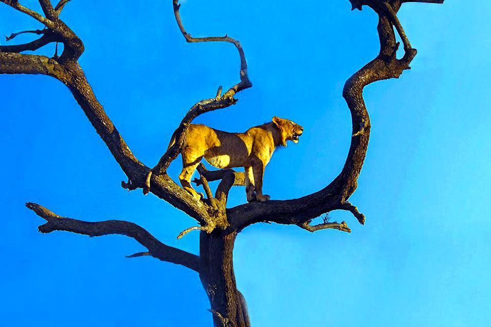 Située dans le prolongement naturel du Parc National de Serengeti en Tanzanie, la réserve nationale de Masaï Mara s'étend sur 1 510 km². Il s'agit certainement de la réserve la plus célèbre du Kenya, voir de l'Afrique en général. Créée en 1961, elle tient son nom de la rivière qui la traverse, la Mara River, et de la population qui y habitent, les Masaïs. Elle offre aux visiteurs différents paysages ...