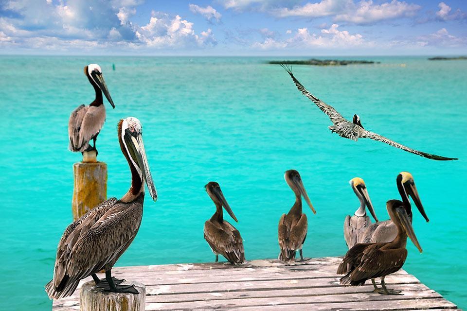 Alcuni pellicani dei Caraibi sostano sul molo della spiaggia di Playa del Carmen.