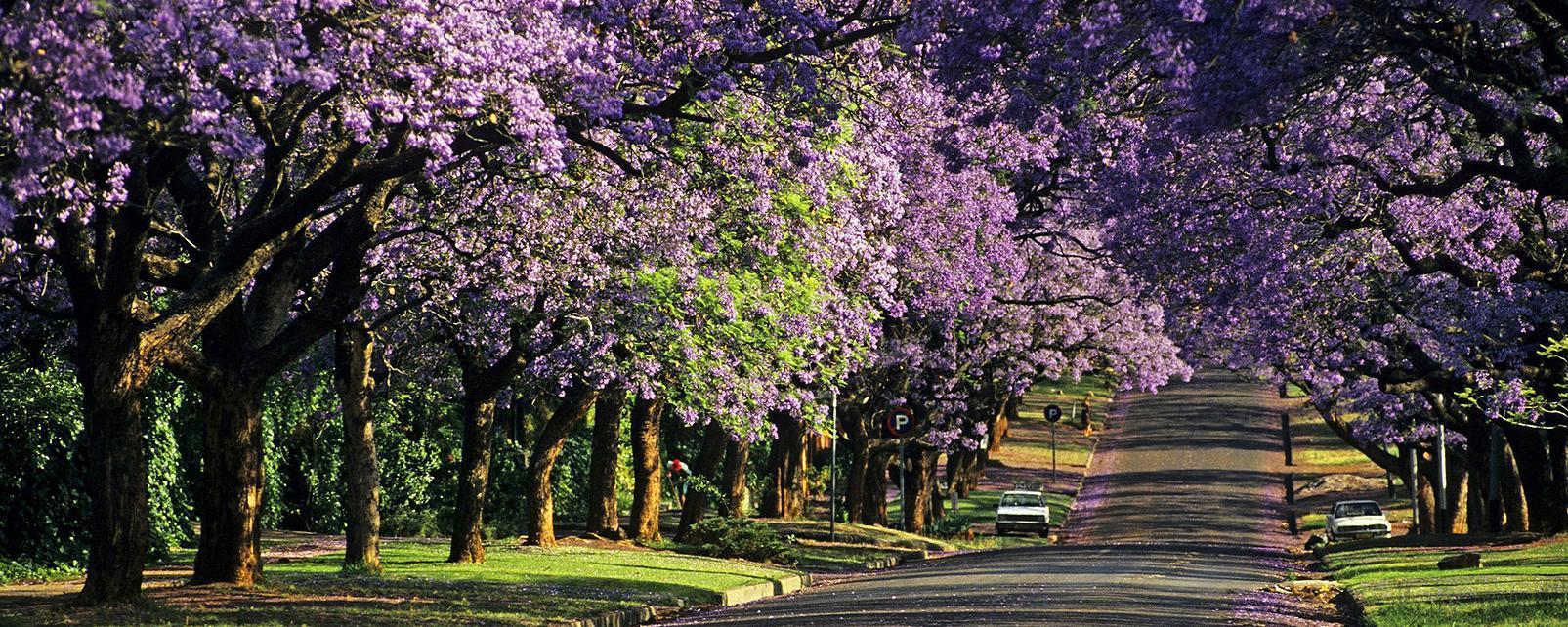 Afrique, Afrique du Sud, Pretoria, rue, voiture, arbre, fleuri, fleur, route,