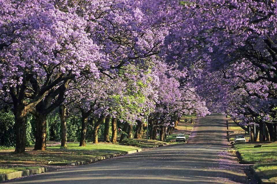 Pretoria è soprannominata la città delle jacarande, alberi primaverili che regalano favolosi fiori color malva.