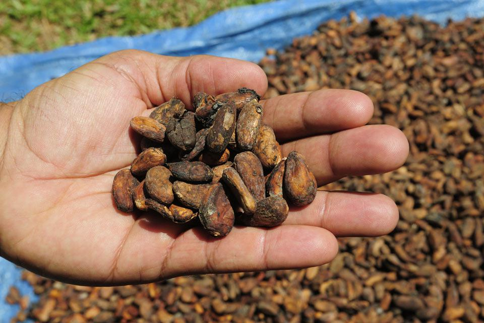The Dominican Republic is the world's biggest exporter of organic cocoa. It is possible to visit cocoa cooperatives and cocoa tree plantations.